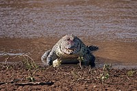 Nile crocodile (Crocodylus niloticus) feeding on a recent kill, Maasai Mara National Reserve, Kenya