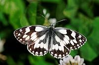 Marbled White, Melanargia galathea, Satyridae