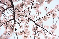 Low Angle View of a cherry blossom tree