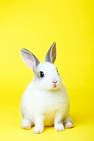 Close_up of a rabbit against colored background