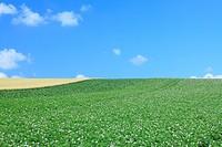 White flower field against blue sky
