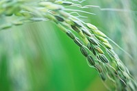 Close_up of a rice plant in field