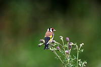 Goldfinch Carduelis carduelis on thistle
