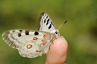 Parnassius apollo is in Southern Europe confined to high mountain areas mostly in the Pyrenees where it was confined at the end of the glacial era  It...