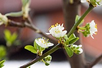 A pale cream plum blossom on a twig