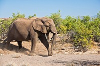 An african elephant (Loxodonta africana) walking purposefully in the Damaraland, Namibia, Africa