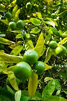 The bountiful crop of a green fecund Lime Tree.