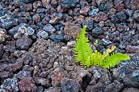 Close_up of ferns growing from cooled lava rock.