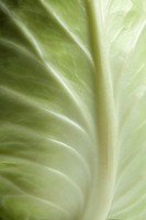 Close up of pointed Cabbage