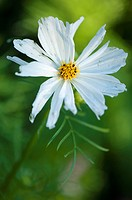 White Cosmos Flower and Leaf