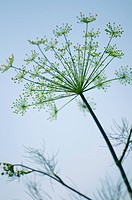 Blossomin Dill Weed in Summer