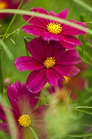 Purple Red Cosmos Flower Chain