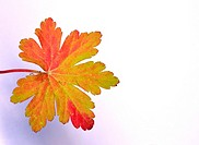 Geranium leaf in its autumn colour