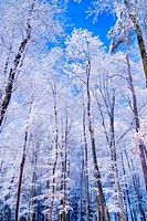 Winter forest, Drahany highlands, Czech republic