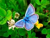 Blue butterfly, Polyommatus bellargus