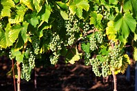 croatia, istria - closeup of wine grapes at vineyard in summer