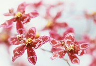 Close up detail of pink and white mottled tiger orchid flowers