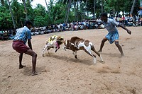 'kidaai Muttu' Goat fighting - fight between two goats at a time conducted as part of temple festivals in many villages near Madurai, Tamil Nadu