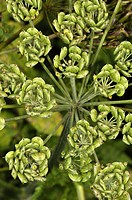 Dill (Anethum graveolens, fam. Apiaceae) seeds, Osseja, Languedoc-Roussillon, Pyrenees Orientales, France