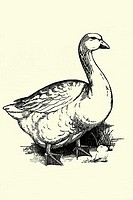 Goose  Antique illustration  1900