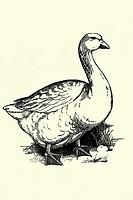Goose  Antique illustration  1900