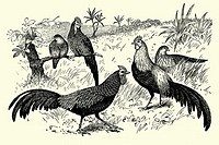 Wild hens  Antique illustration  1900