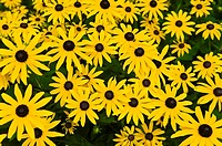 Black-eyed susans wildflowers, Littleton, Colorado USA