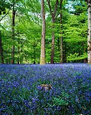 Bluebells in May in the Forest of Dean Gloucestershire, England, United Kingdom