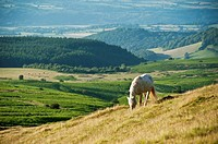 Welsh mountain pony feeds on grassy hillside, Hay Bluff, Wales