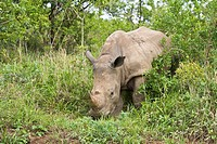 White rhino (Ceratotherium simum) in the Hluhluwe National Park in Kwa Zulu Natal in South Africa