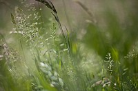 Extreme close up of wild meadow grass (poaceae)