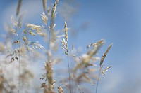 Close up of wild grass against blue sky and clouds