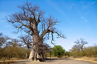 Senegal _ The Small Coast _ The Bandia reservation _ Baobab