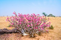 Senegal _ Saint_Louis region _ Tiny baobab _ Flowers