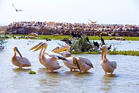 Senegal _ Saint_Louis region _ National park of Djoudj _ Pelicans