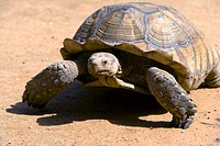 Senegal _ The Small Coast _ The Bandia reservation _ Giant turtle