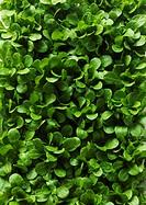 Stomatium agninum young plants