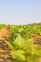 Close up of bean leaves in a field