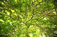Magnolia Soulangiana Lennei Tree