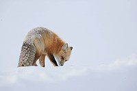 A Red Fox searching for food during a Yellowstone winter.