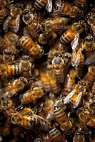 Throng of Honey Bees, close_up.