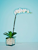 White orchid plant on blue background.
