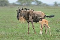 Brindled Gnu/Wildebeest (Connochaetes taurinus), female with calf, Tanzania