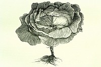 Cabbage  Antique illustration  1890