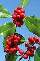 Holly sprig  Ilex aquifolium