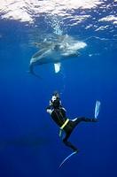 Diver filming a humpback whale calf Megaptera novaeangliae. Photographed off Toku, Va Va´u, Tonga.