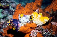 Ink_spot sea squirts Polycarpa aurata, yellow and purple on a reef. Sea squirts, or tunicates, are sessile barrel_shaped animals that feed by filterin...