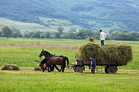 Harvesting using horses and a cart, near Baraolt in Transylvania, Romania.