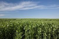 field of flowering pea plants, alberta, canada