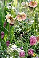 Hellebore Helleborus and Fritillary Fritillaria flowers growing in the spring.